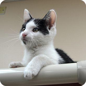 Domestic Shorthair Kitten for adoption in Wheaton, Illinois - BJ