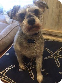 Schnauzer (Miniature) Mix Dog for adoption in Millersville, Maryland - Luke