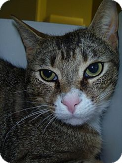 Domestic Shorthair Cat for adoption in Hamburg, New York - AJ