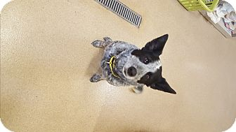 Cattle Dog/Border Collie Mix Dog for adoption in Naperville, Illinois - Joey