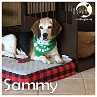 Adopt A Pet :: Sammy - Novi, MI