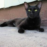 Domestic Shorthair/Domestic Shorthair Mix Cat for adoption in Wichita Falls, Texas - Amara