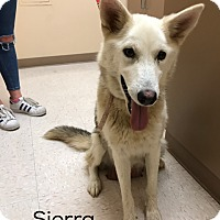 Husky Mix Dog for adoption in Los Angeles, California - SIERRA