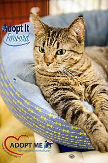 Domestic Shorthair Cat for adoption in Alexandria, Virginia - Mya