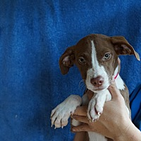Adopt A Pet :: Spicy - Oviedo, FL