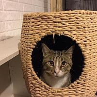 Adopt A Pet :: Keanu - Walled Lake, MI