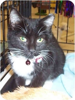 Domestic Shorthair Kitten for adoption in Tampa, Florida - Tucky