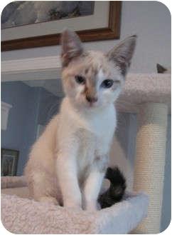 Siamese Kitten for adoption in Davis, California - Malani