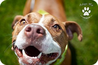 American Pit Bull Terrier Mix Dog for adoption in Medford, New Jersey - Walter