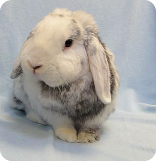 Mini Lop Mix for adoption in Los Angeles, California - Toki