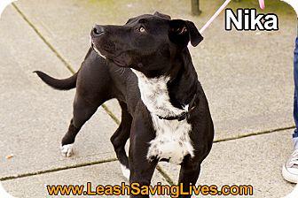 Labrador Retriever/Australian Shepherd Mix Dog for adoption in Pitt Meadows, British Columbia - Nika