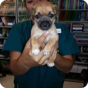 Chihuahua Mix Puppy for adoption in Los Angeles, California - GAVIN