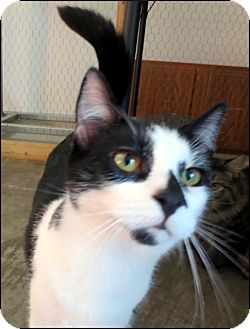 Domestic Shorthair Cat for adoption in Colville, Washington - Mickey