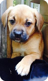 Labrador Retriever Mix Puppy for adoption in Bedford, Virginia - Clementine Wooly Socks