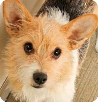 Poodle (Miniature)/Corgi Mix Dog for adoption in Winchester, Kentucky - TOPPER(ADORABLE SCRUFFY PUP!!