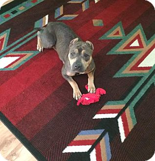 Staffordshire Bull Terrier/Shar Pei Mix Dog for adoption in Houston, Texas - Rosie