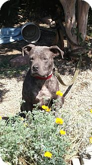 Pit Bull Terrier Mix Puppy for adoption in Antioch, California - Blu