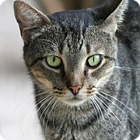 Domestic Shorthair Cat for adoption in North Fort Myers, Florida - Moses