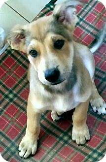German Shepherd Dog Mix Puppy for adoption in Mary Esther, Florida - GSD female pup