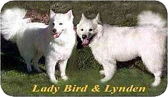 American Eskimo Dog Dog for adoption in Downey, California - Lynden