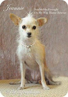 Terrier (Unknown Type, Small) Mix Dog for adoption in Henderson, Nevada - Jeannie