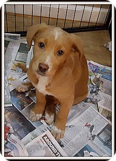 Great Pyrenees/Labrador Retriever Mix Puppy for adoption in Milford, New Jersey - Cally