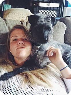 Schnauzer (Standard)/Poodle (Miniature) Mix Dog for adoption in Santa Barbara, California - Bristol