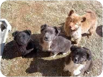 Border Collie/Shepherd (Unknown Type) Mix Puppy for adoption in McArthur, Ohio - PUPPIES!!