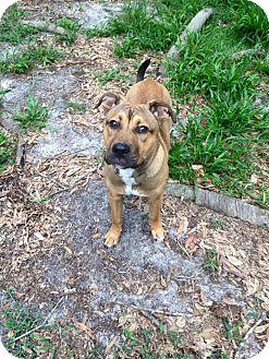 German Shepherd Dog Mix Dog for adoption in Groveland, Florida - Prince