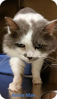 Domestic Shorthair Cat for adoption in Worcester, Massachusetts - Annie Mae