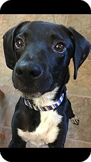 Labrador Retriever Mix Puppy for adoption in Franklinville, New Jersey - Sully