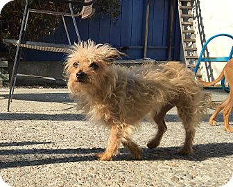 Chihuahua/Poodle (Toy or Tea Cup) Mix Dog for adoption in Emeryville, California - SANDY