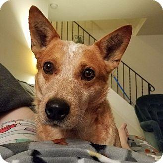 Australian Cattle Dog/Corgi Mix Dog for adoption in Lima, Pennsylvania - Marley