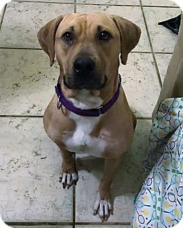 Labrador Retriever Mix Dog for adoption in Ft. Lauderdale, Florida - Mona
