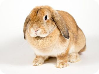 Lop, Holland for adoption in Kingston, Ontario - Lola