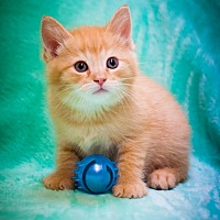 Domestic Shorthair Kitten for adoption in Circleville, Ohio - Cypress