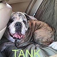 English Bulldog Dog for adoption in Lenexa, Kansas - Tank