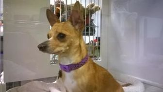 Chihuahua Mix Dog for adoption in Rio Rancho, New Mexico - Prince