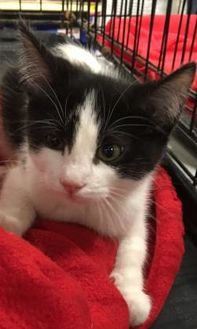 Domestic Shorthair/Domestic Shorthair Mix Cat for adoption in Beaumont, Texas - Evie
