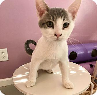 Domestic Shorthair Kitten for adoption in Bakersfield, California - CARSON