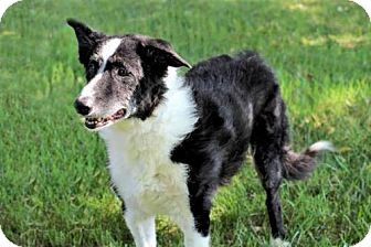 Border Collie Mix Dog for adoption in Washington, D.C. - TRINITY