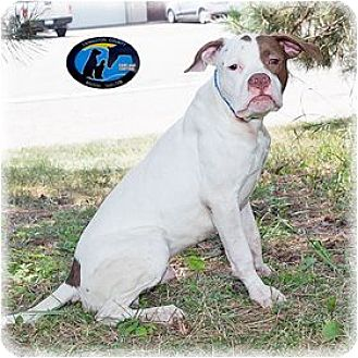 Boxer/Pointer Mix Dog for adoption in Howell, Michigan - Lyle