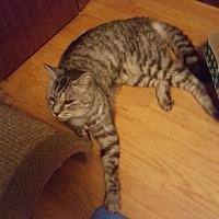 Adopt A Pet :: Yara *Declawed* - Toronto, ON