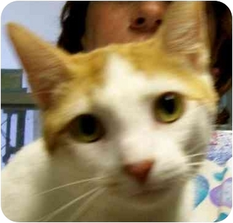 Domestic Shorthair Cat for adoption in Ft. Pierce, Florida - Mylo