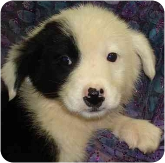 Border Collie Mix Puppy for adoption in Brenham, Texas - Little Mac