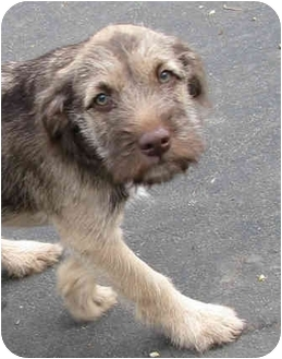 Terrier (Unknown Type, Medium)/Shepherd (Unknown Type) Mix Puppy for adoption in Poway, California - Franklin Delano Dog