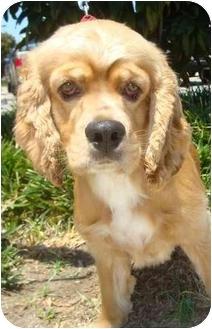 Cocker Spaniel Dog for adoption in Sugarland, Texas - Douggie
