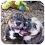 Photo 3 - Boxer/Labrador Retriever Mix Puppy for adoption in Pittsboro/Durham, North Carolina - Max