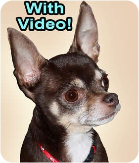 Chihuahua Dog for adoption in Dallas, Texas - Christopher