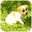 Photo 2 - Jack Russell Terrier Mix Puppy for adoption in Foster, Rhode Island - Avery